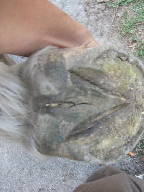 Besoin d'avis et conseils sur les pieds de mon cheval IMG_2159