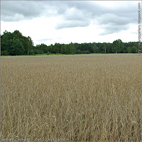 Secale cereale - Żyto zwyczajne w uprawie