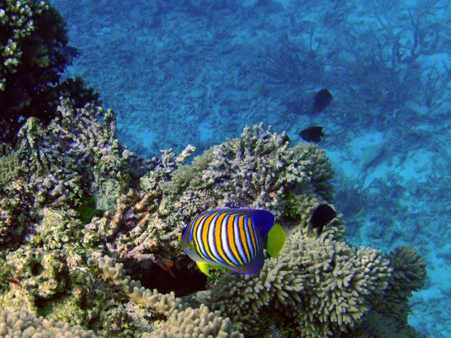 Pygoplites diacanthus (Royal Angelfish, Naigani Island, Fiji