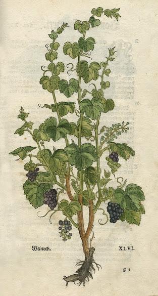 Grapes, in Fuchs, 1543