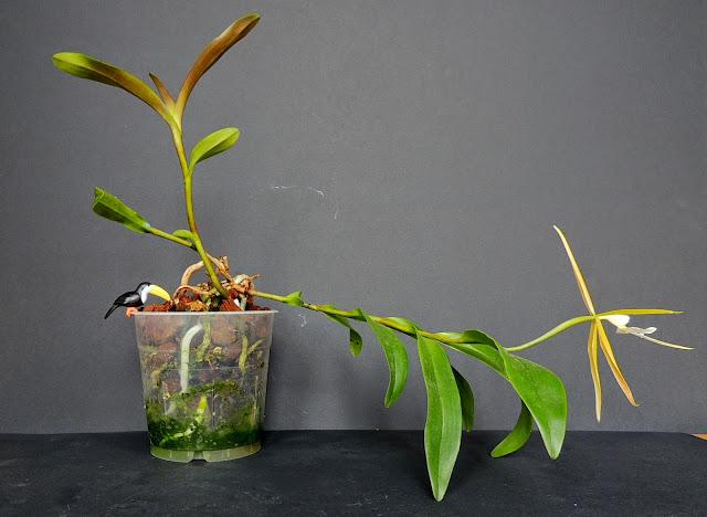 Epidendrum nocturnum DSCN1736