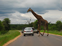 This giraffe is playing chicken with the traffic!