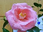 桃色 八重 抱え咲き 筒しべ 大輪