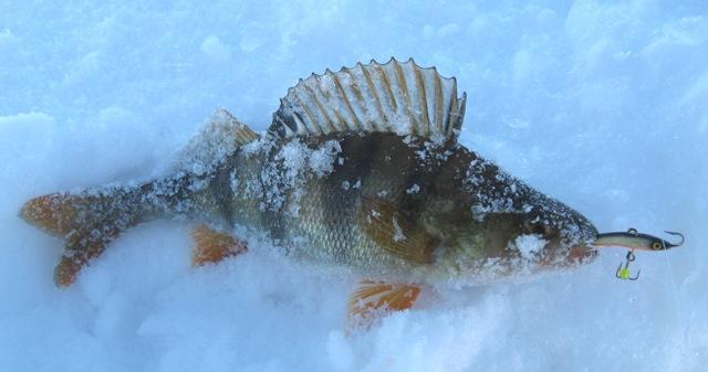 Окунь - самая распространенная добыча любителей ловли зимой на балансир