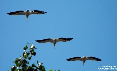 trei pelicani in zbor