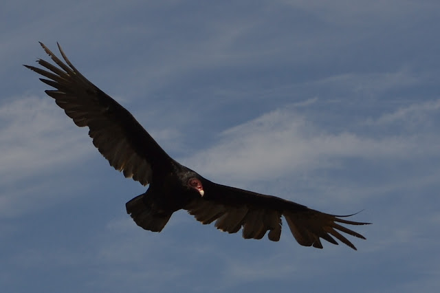 turkey vulture above
