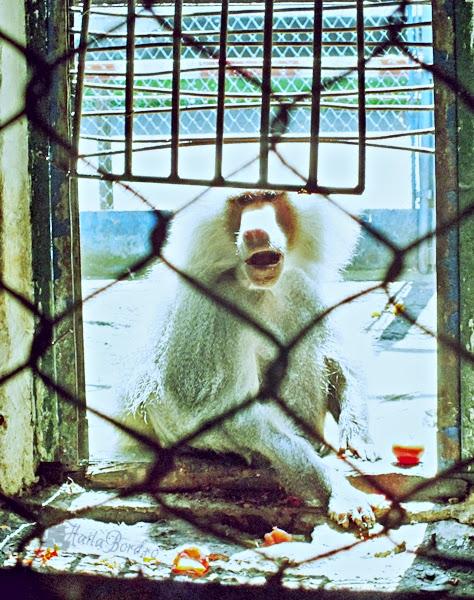 maimuta zoo radauti
