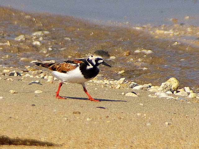 birds, red legs and feet, Turnstone,migratory