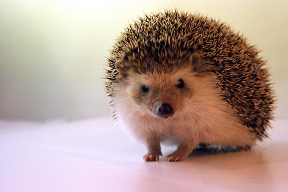 Maailmaa linssin läpi: Afrikkalainen kääpiösiili - Small African hedgehog
