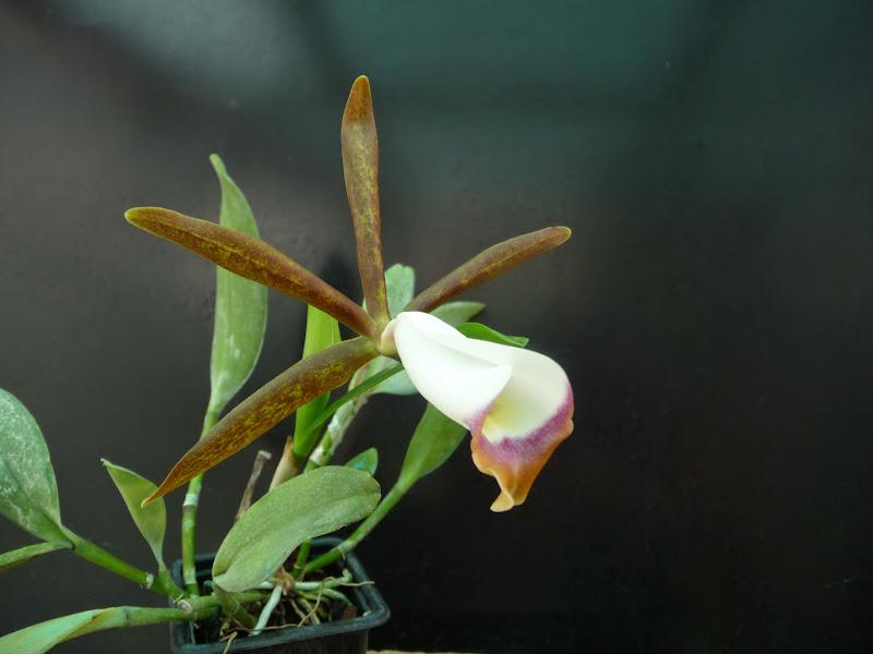 Cattleya araguaiensis P1200798