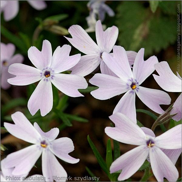 Phlox subulata - Płomyk szydlasty