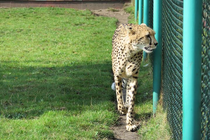 Die Geparden wirken faszinierend