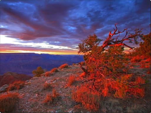 Blushing Bush, Navajo Point, Grand Canyon National Park, Arizona.jpg