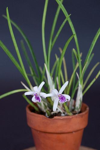 Растения из Тюмени. Краткий обзор - Страница 4 Laelia%252520perrinii44