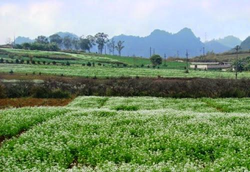 300 Mộc Châu đẹp tinh khôi mùa cải trắng