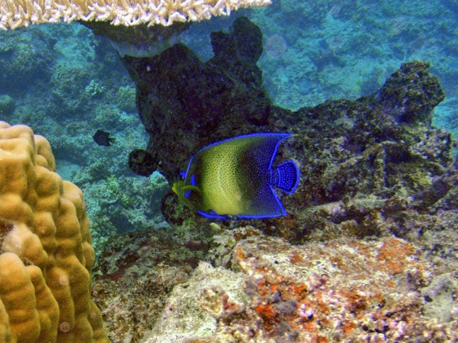 Pomacanthus semicirculatus (Koran Angelfish), Naigani Island, Fiji.
