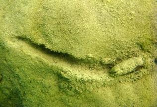 Náyade (Unio delphinus) en la laguna San Pedro