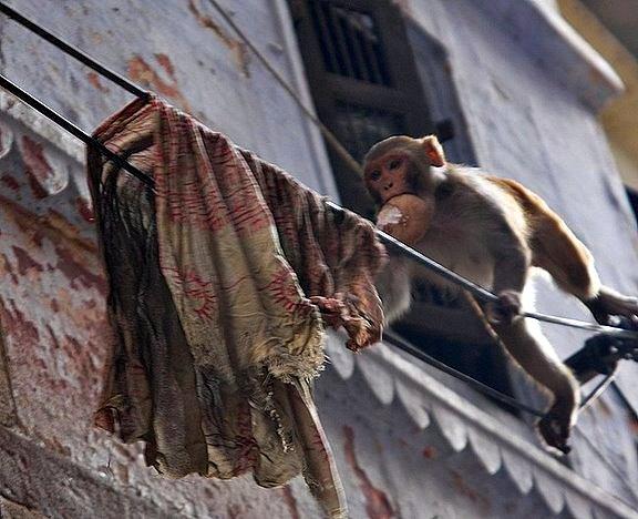 indian monkey