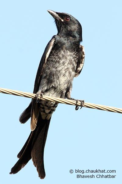 Juvenile Black Drongo [Dicrurus macrocercus]