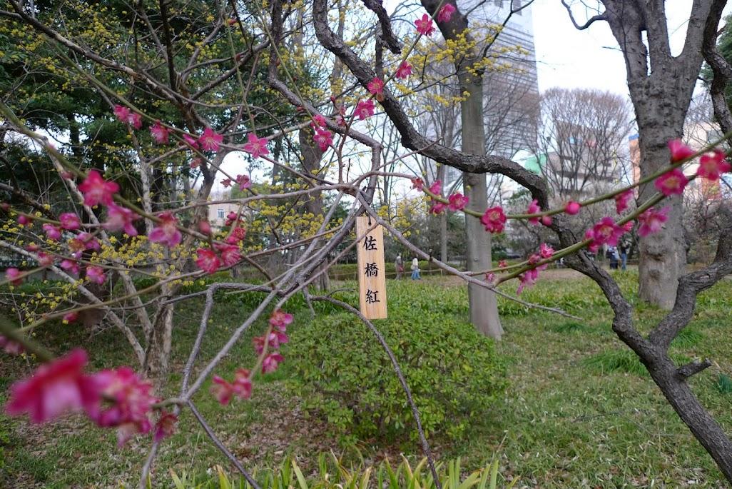 tokyo koishikawa korakuen pruniers