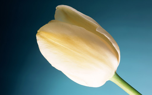 Cream Tulip Flower