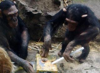 simpanse dalam menggunakan alat