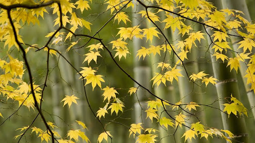 Autumn in Sagano, Kyoto, Japan.jpg