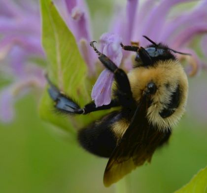 A bumble bee on a bee balm