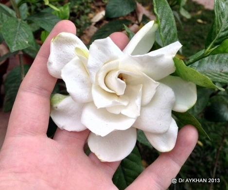 gardenia Aimee Yoshioka