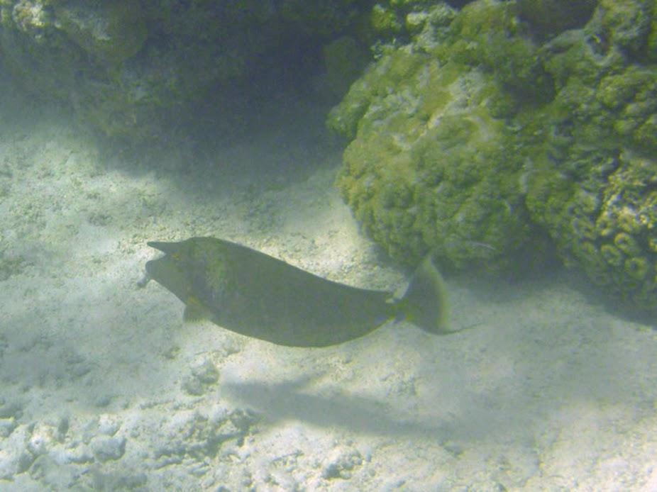 Naso unicornis (Unicorn Surgeronfish), Aitutaki.