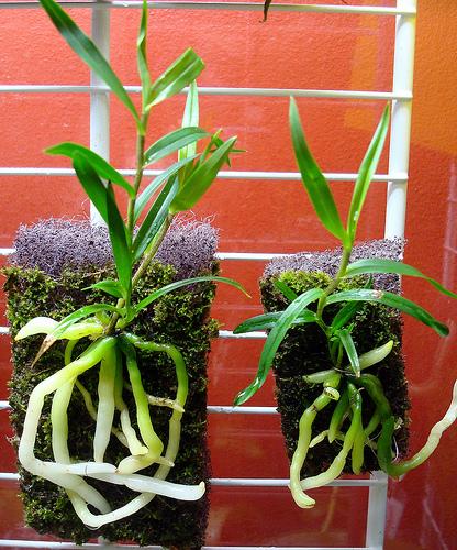 Растения из Тюмени. Краткий обзор - Страница 4 Oerstedella%252520centradenia%2525201