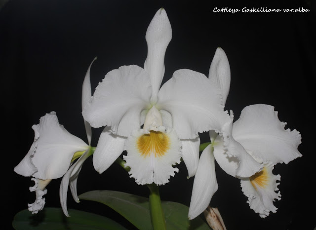 Cattleya Gaskelliana var.alba IMG_0931b%2520%2528Medium%2529