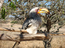 A Southern Hornbill, one of Lora's favorite birds. I personally think they look a bit creepy.