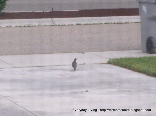 photo of a quail walking along the driveway