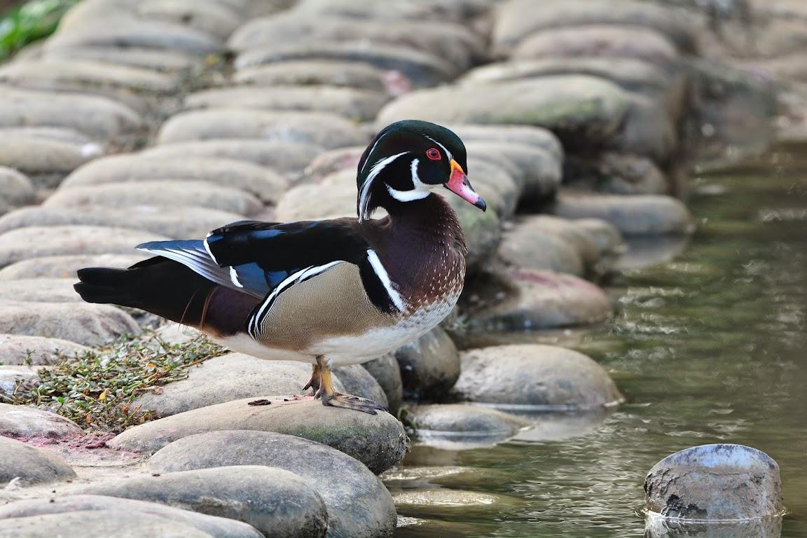 八德埤塘生態公園 - 美洲木鴨&鴛鴦