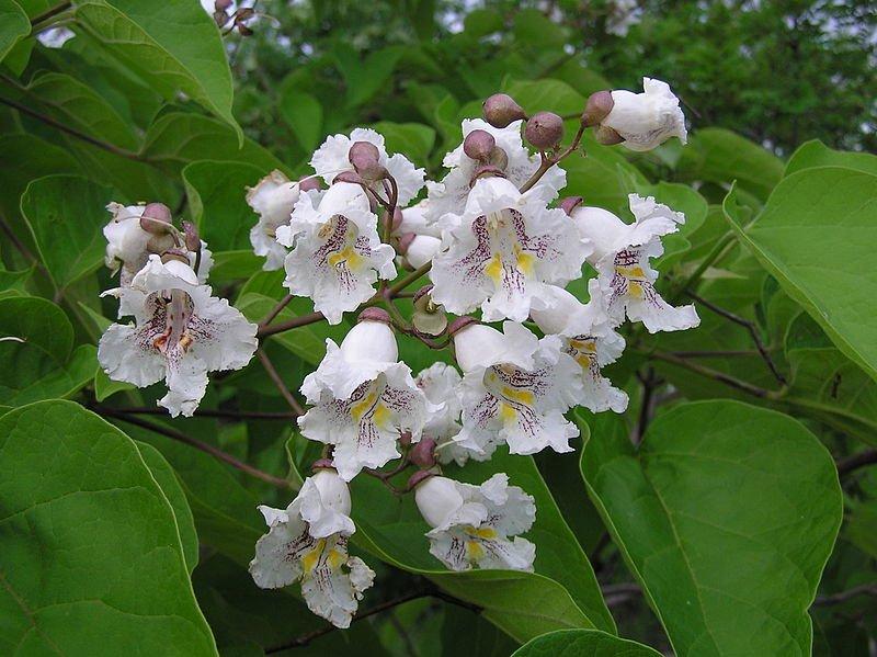 Catalpa bignonioides - Catalpa - Detalle de la flor