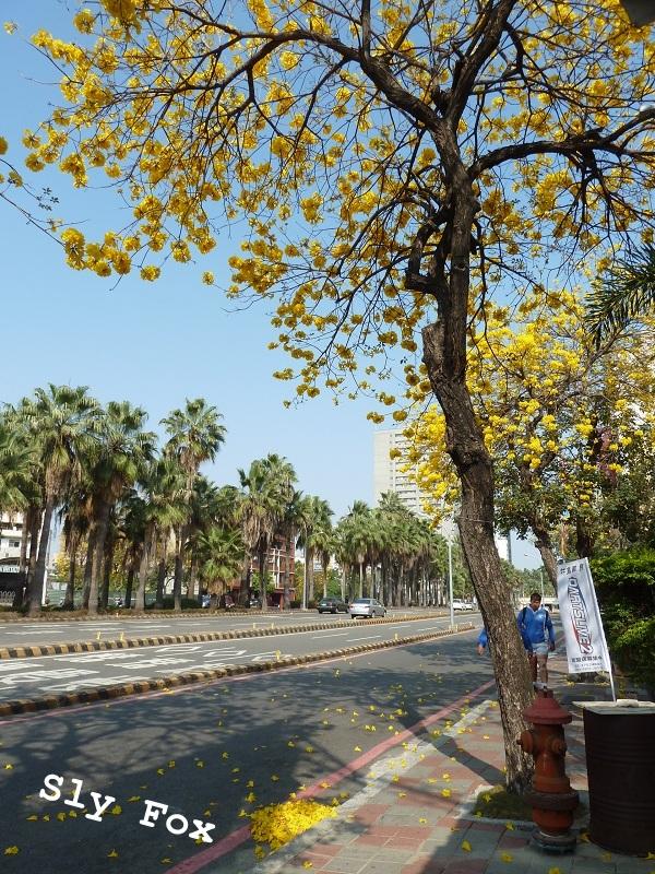 台南林森路黃花風鈴木
