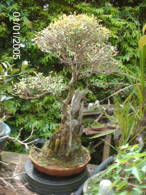 Ficus Nerifolia, Uma raiz de 3 anos... PICT1074