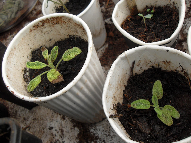 These Sage cuttings are growing well