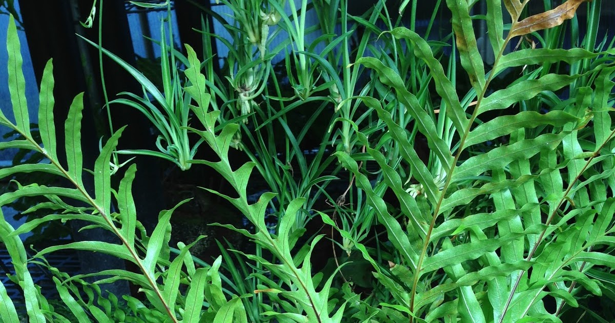 Rare Fern Species Aglaonaria Robertsii Aglaomorpha