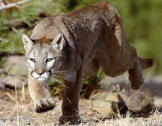Le cougar espèce porté disparue
