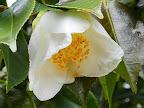 白色 一重 椀咲き 梅芯 小〜中輪