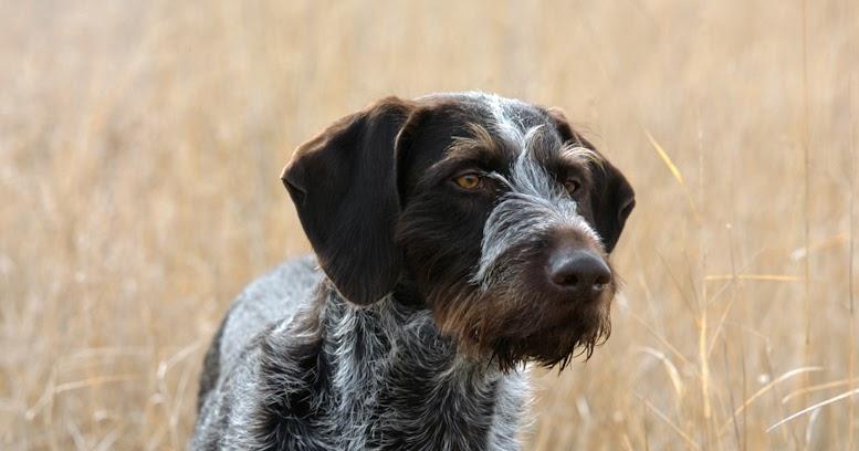 Pointing Dog Blog: The Deutsch Drahthaar/German Wirehaired ...