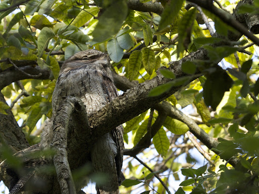 Tawny Frogmouth Podargus strigoides in the Royal Botanic Gardens in Sydney - #nature #wildlife #b...