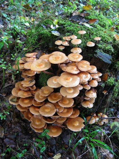 kolonia grzybów na pniu