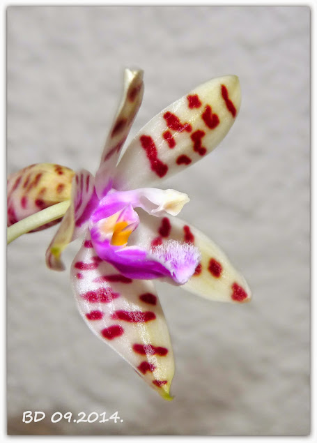 Phalaenopsis tetraspis x mariae P1430121