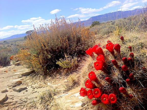 Echinocereus triglochidiatus (Claret Cup Cactus)