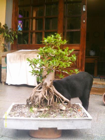 Ficus Microcarpa var. Indica... - Página 2 IMAG0178