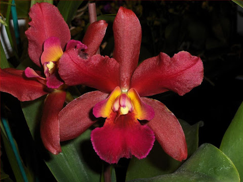 Cattleya hybrid, dark red flower detail