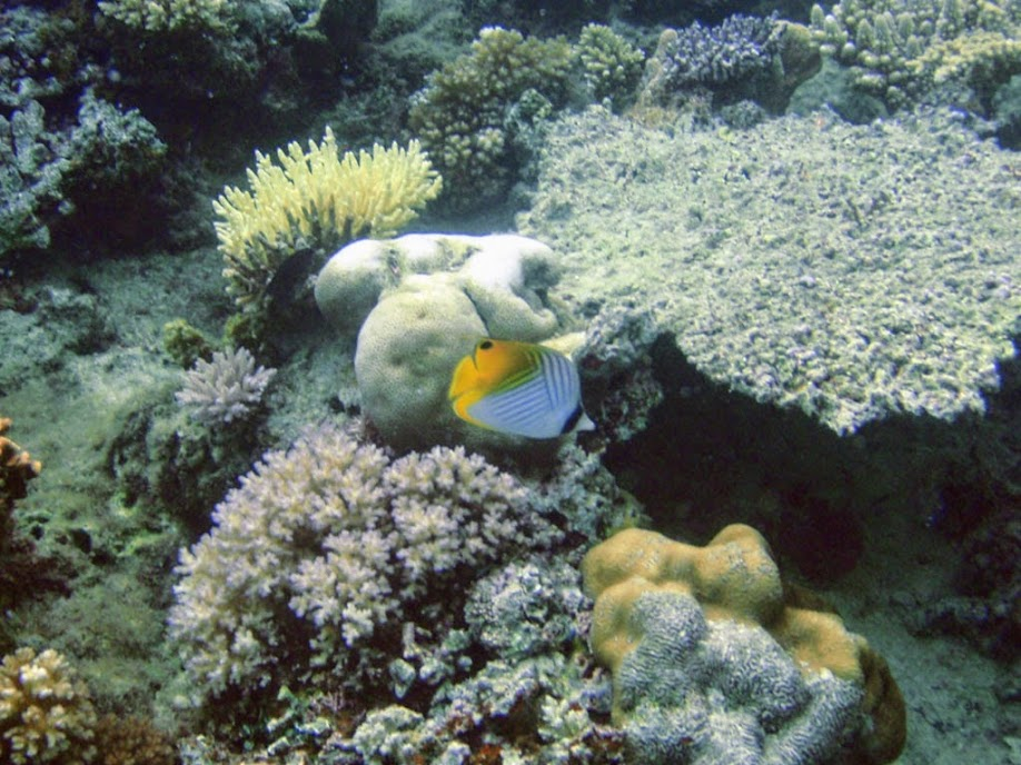 Chaetodon auriga (Auriga Butterflyfish), Naigani Island, Fiji.